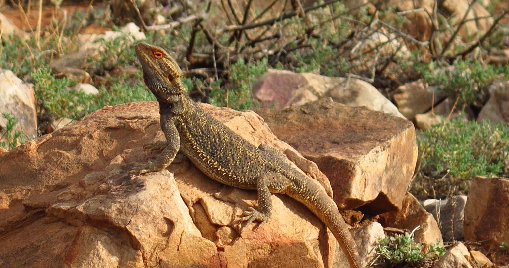 PINDAN 4WD Tours, Central Bearded Dragon