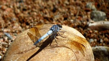 Macro Photography - Blue Dragon Fly