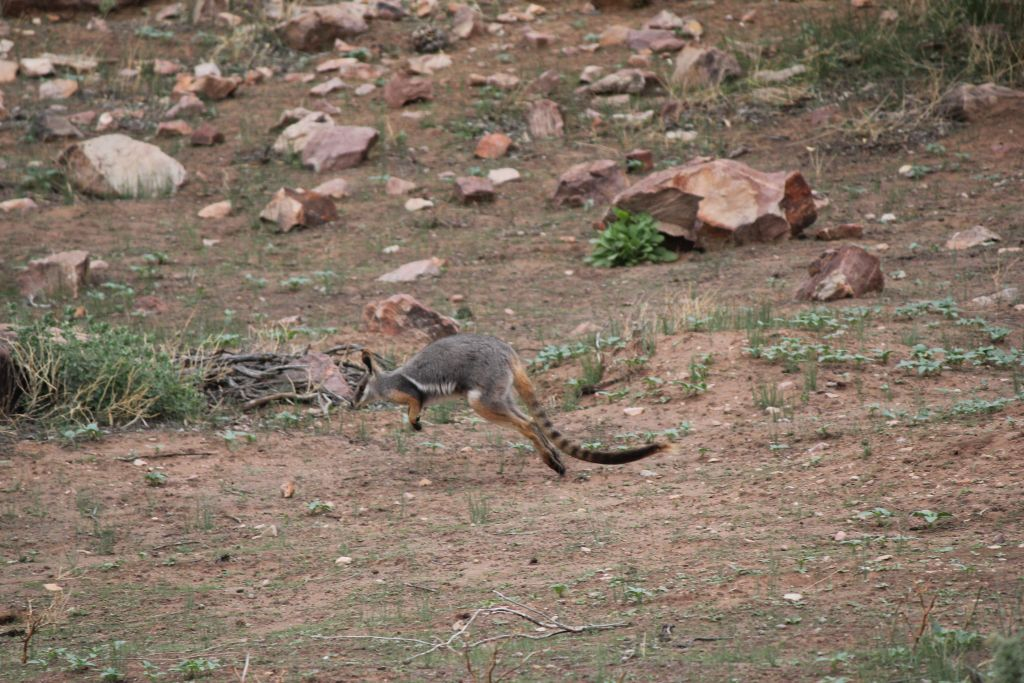 Pindan Photography Tour - Yellow Footed Rock Wallaby