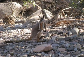 Outback 4WD Norms Yellow Footed Rock Wallaby