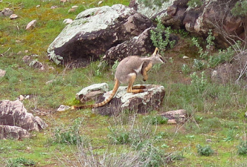 Off Road Adventures Yellow Footed Rock Wallaby